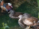 Mandarin Duck LPZoo