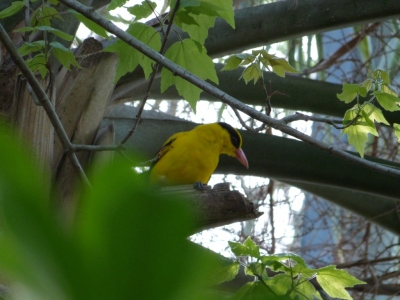 Black-naped Oriole LPZoo by Lee
