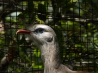 Red-legged Seriema LPZoo