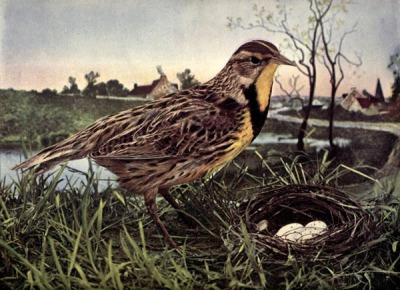 Meadowlark - Birds Illustrated by Color Photography, 1897