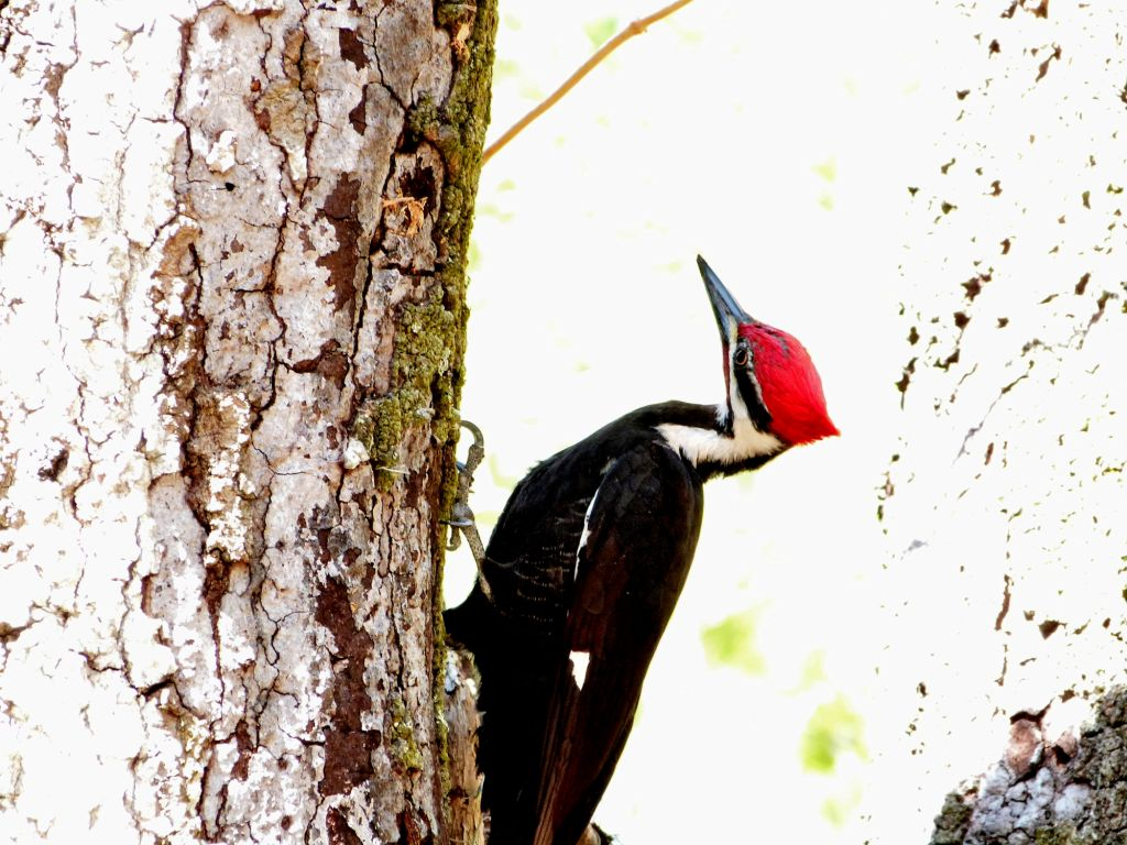 Pileated Woodpecker by Lee