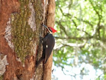 Pileated Woodpecker by Lee at Circle B