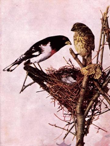 Rose-breasted Grosbeak (Pheucticus ludovicianus)