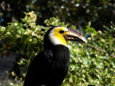 Sulawesi Hornbill (Penelopides exarhatus) LPZoo 3-8-12 by Lee