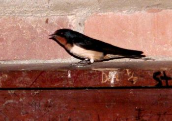 Barn Swallow on Fireplace - Smoky-Cades Cove by Lee