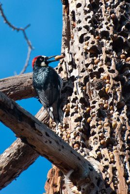 Acorn Woodpecker (Melanerpes formicivorus) with Hoard or Grainary WikiC