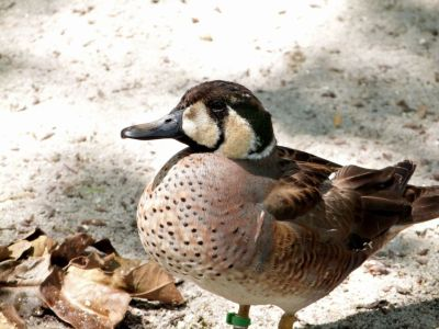 Baikal Teal (Sibirionetta formosa) Zoo Miami by Lee