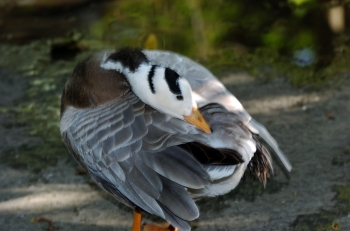 Bar-headed Goose (Anser indicus) by Dan at Zoo Miami