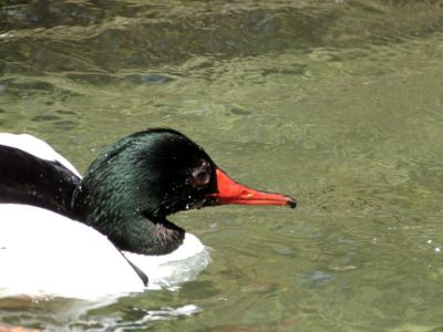 Common Merganser (Mergus merganser) Male Zoo Miami by Lee