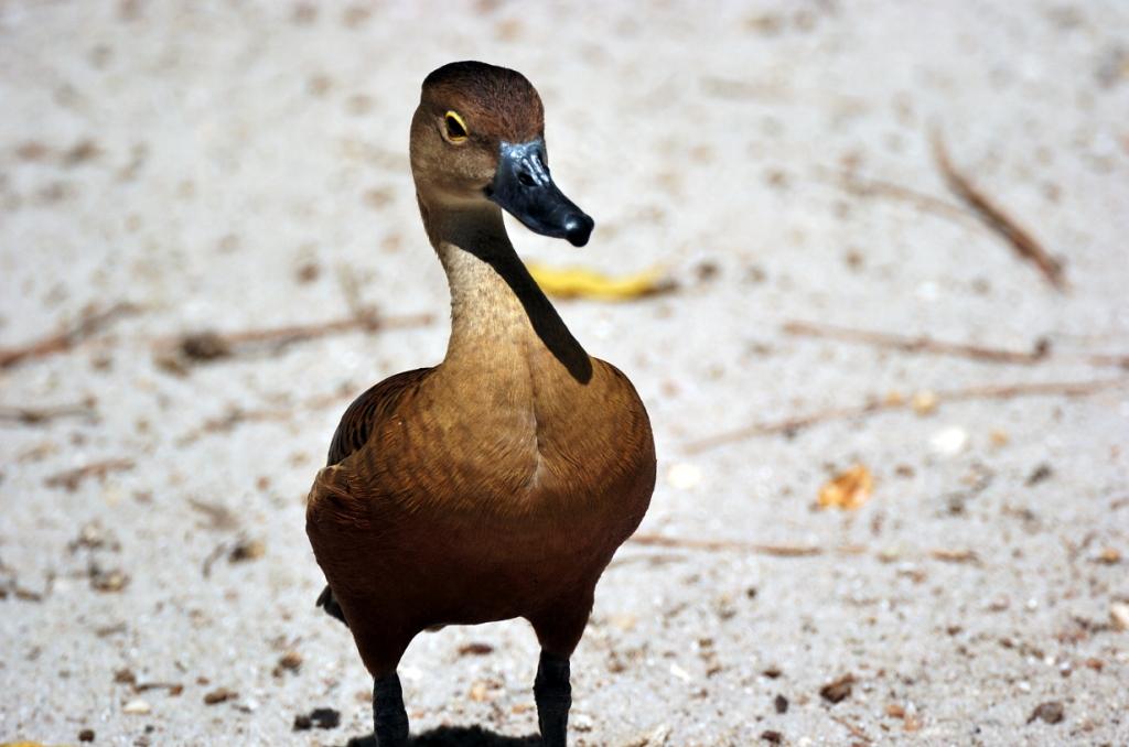 Javan Whistling Duck by Dan at Zoo Miami