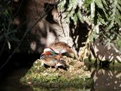 Mandarin Duck (Aix galericulata) Zoo Miami by Lee