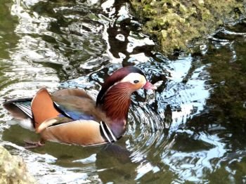 Mandarin Duck (Aix galericulata) Zoo Miami by Lee
