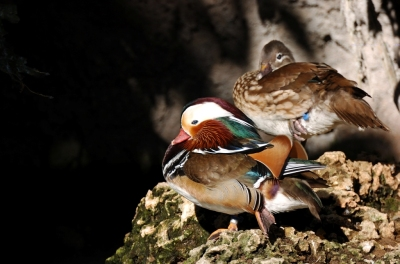 Mandarin Duck (Aix galericulata) by Dan at Zoo Miami