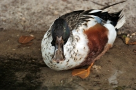 Northern Shoveler (Anas clypeata) by Dan at Zoo Miami
