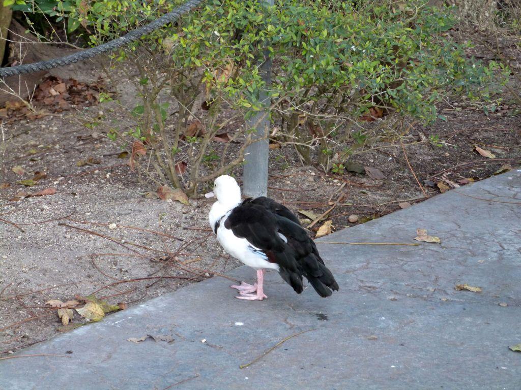 Raja Shelduck (Tadorna radjah) Zoo Miami by Lee