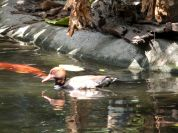 Red-crested Pochard (Netta rufina) Zoo Miami by Lee