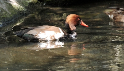 Red-crested Pochard (Netta rufina) by Dan at Zoo Miami