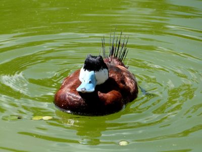Ruddy Duck (Oxyura jamaicensis) Zoo Miami by Lee