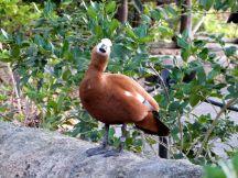 Ruddy Shelduck (Tadorna ferruginea) Zoo Miami by Lee