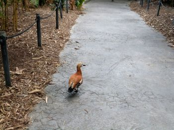Ruddy Shelduck (Tadorna ferruginea) Zoo Miami by Lee