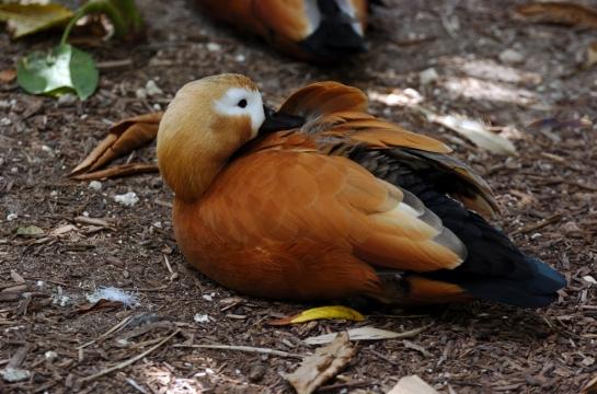 Ruddy Shelduck (Tadorna ferruginea) by Dan at Zoo Miami
