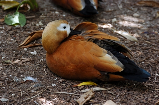 Ruddy Shelduck (Tadorna ferruginea) by Dan at Zoo Miami