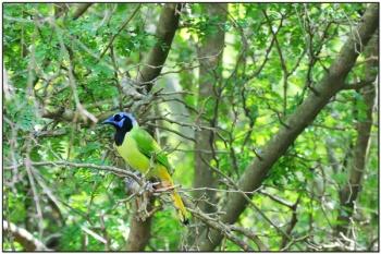 Green Jay (Cyanocorax luxuosus) by Daves BirdingPix
