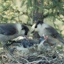 Canada Jay (Perisoreus canadensis) Feeding at Nest WikiC