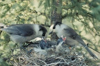 Grey Jay (Perisoreus canadensis) Feeding at Nest ©WikiC