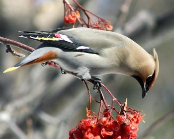 Bohemian Waxwing (Bombycilla garrulus) ©WikiC