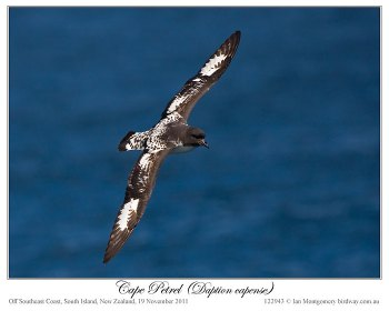 Cape Petrel (Daption capense) by Ian 1