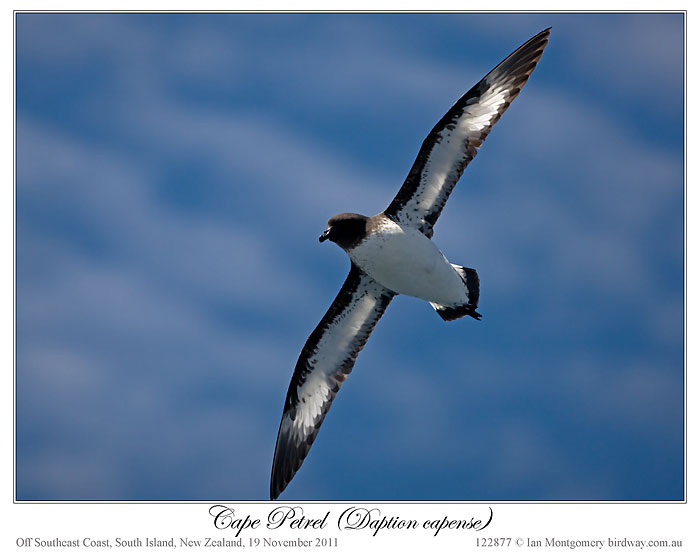 Cape Petrel (Daption capense) by Ian 2