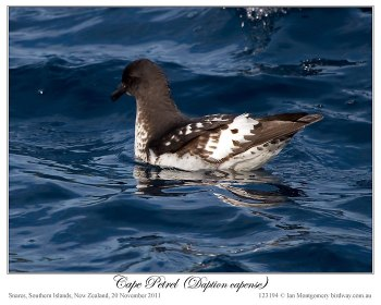 Cape Petrel (Daption capense) by Ian 3