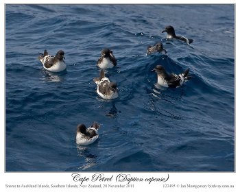 Cape Petrel (Daption capense) by Ian 4