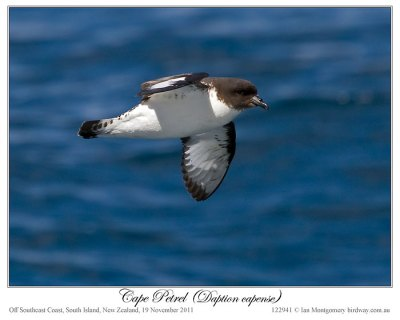 Cape Petrel (Daption capense) by Ian 5