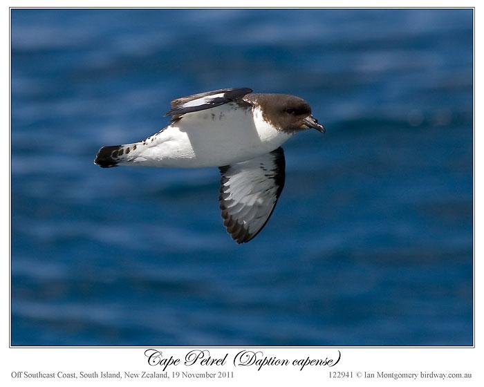 Cape Petrel (Daption capense) by Ian 5