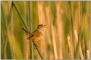 Marsh Wren (Cistothorus palustris) by Daves BirdingPix
