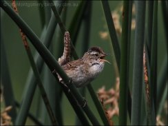 Marsh Wren (Cistothorus palustris) by Ian