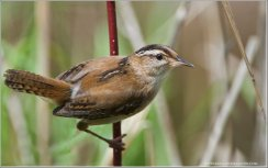 Marsh Wren (Cistothorus palustris) by Ray