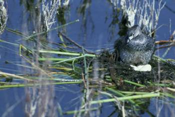 Pied-billed Grebe (Podilymbus podiceps) nest ©USFWS