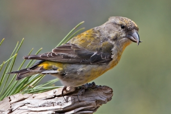 Red Crossbill (Loxia curvirostra) Female ©WikiC