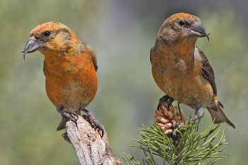 Red Crossbill (Loxia curvirostra) ©WikiC