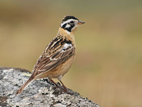 Smith's Longspur (Calcarius pictus) ©USFWS