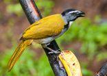 Black-headed Saltator (Saltator atriceps) ©WikiC