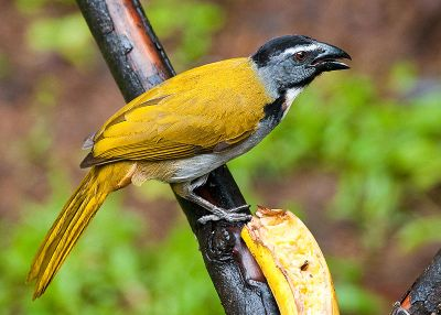 Black-headed Saltator (Saltator atriceps) ©WikiC