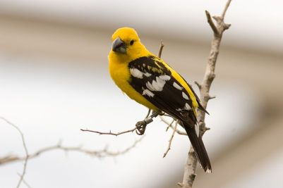Mexican Yellow Grosbeak (Pheucticus chrysopeplus) ©WikiC