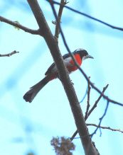 Red-breasted Chat (Granatellus venustus) ©WikiC
