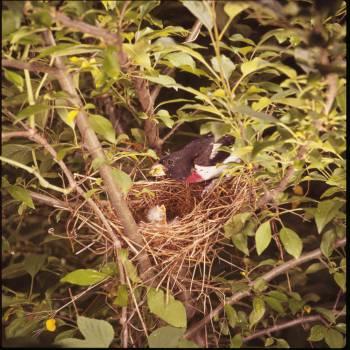 Rose-breasted Grosbeak (Pheucticus ludovicianus) at nest ©USFWS