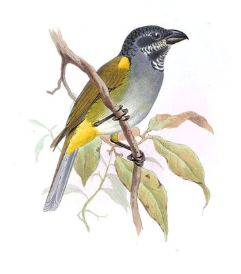 Yellow-shouldered Grosbeak (Parkerthraustes humeralis) Drawing ©WikiC