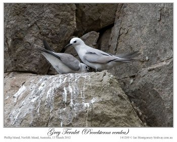 Grey Noddy (Procelsterna albivitta) by Ian 3